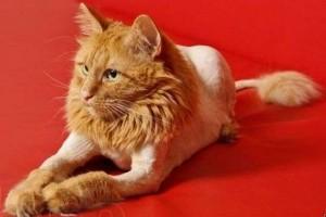 груминг кот - лев