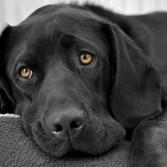 глаза собачки