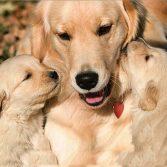 Беременность щенки
