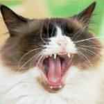 ларингит у кошек